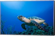 Cayman Islands, Hawksbill Sea Turtle and coral reef Fine-Art Print