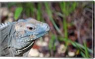 Iguana lizard, Queen Elizabeth II Park, Grand Cayman Fine-Art Print
