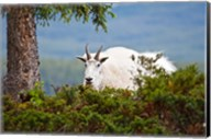 Alberta, Jasper National Park, Mountain Goat wildlife Fine-Art Print
