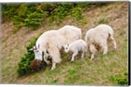 Alberta, Jasper NP, Mountain Goat wildlife Fine-Art Print