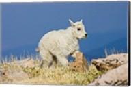 Mountain Goat, Rocky Mountains, Colorado Fine-Art Print
