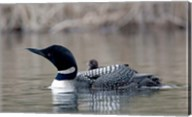 British Columbia Common Loon with chick Fine-Art Print