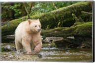 British Columbia, Princess Royal Island, Spirit Bear Fine-Art Print