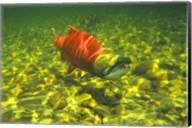 British Columbia, Adams River Sockeye salmon migrating Fine-Art Print
