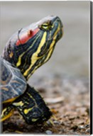 Red-eared pond slider turtle, British Columbia Fine-Art Print