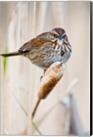 British Columbia, Song Sparrow bird on cattail Fine-Art Print