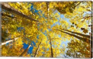 Aspens on the Canon Brook Trail Fine-Art Print