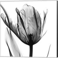 High Contrast Tulip Fine-Art Print