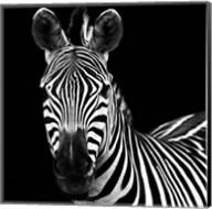 Zebra II Square Fine-Art Print
