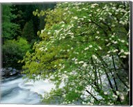 Flowering dogwood tree along the Merced River, Yosemite National Park, California Fine-Art Print