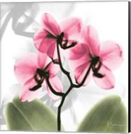 Orchid Pink Fine-Art Print