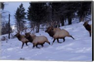 Elk or Wapiti, Yellowstone National Park, Wyoming Fine-Art Print