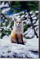 Red Fox on Snow Bank, Mt Rainier National Park, Washington Fine-Art Print