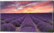 Sunrise over Lavender Fine-Art Print