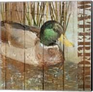 Open Season Mallard Fine-Art Print