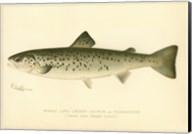 Female Land Locked Salmon Fine-Art Print