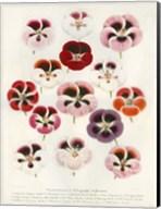 Geranium Varieties Fine-Art Print