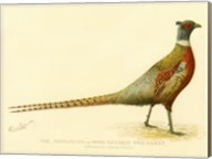 The Mongolian or Ring-Necked Pheasant Fine-Art Print