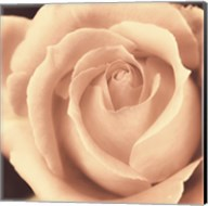 Peach Rose Fine-Art Print