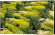Olive Trees, Provence of Granada, Andalusia, Spain Fine-Art Print