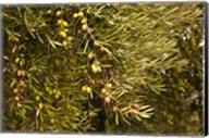 Spain, Jaen Province, Jaen-area, Olive Trees Fine-Art Print
