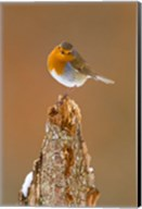 UK, Robin bird on tree stump, Winter Fine-Art Print