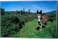 Domestic Donkey, Samos, Greece Fine-Art Print