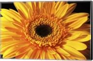 Gerbera Flower Fine-Art Print