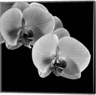 Orchids Fine-Art Print