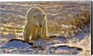 Churchchill Polar Bear Fine-Art Print