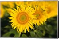 Sunflower Field in France, Provence Fine-Art Print