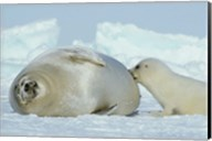 Harp Seal on Magdalen Island Fine-Art Print
