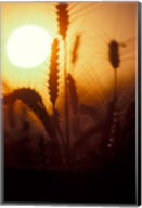 Wheat Plants at Sunset Fine-Art Print