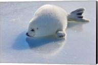 Harp Seal Pup on Ice Fine-Art Print
