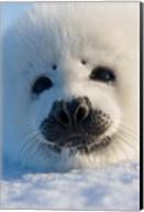 Harp Seal Pup, Canada Fine-Art Print