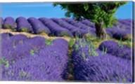 Lavender Tree, France Fine-Art Print