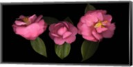 3 Camellias Fine-Art Print