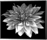 Perfect Dahlia 1 Fine-Art Print