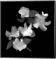 White & Pink Camellia Fine-Art Print