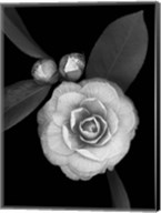 Camellia with Buds Fine-Art Print