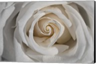 White Rose Petals Closeup Fine-Art Print