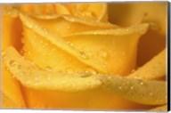 Yellow Rose And Dew Closeup Fine-Art Print