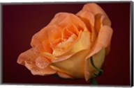 Orang Rose On Red Glow Closeup Fine-Art Print