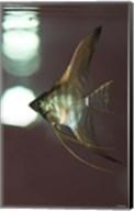 Angel Fish XI Fine-Art Print