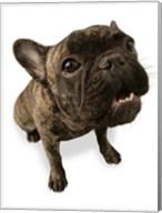 Brown Pug Portrait On White Fine-Art Print