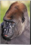 Gorilla Stare Fine-Art Print