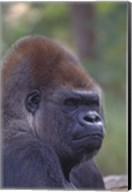 Gorilla Portrait Fine-Art Print