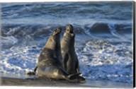 Seals Singing Fine-Art Print