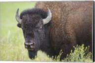 Buffalo Closeup I Fine-Art Print
