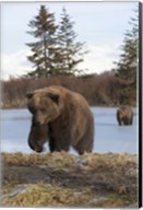Bear On The Field Fine-Art Print